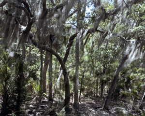 Photograph by Dana Mueller: Forest, St. Helena Island, South Carolina
